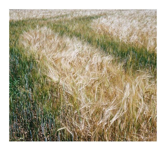Barley field - Abstraction I