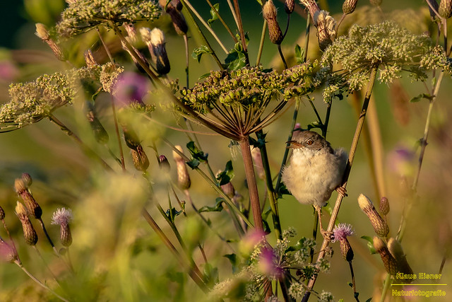common whitethroat male