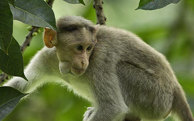 Bonnet Macaque Dandeli Feeding