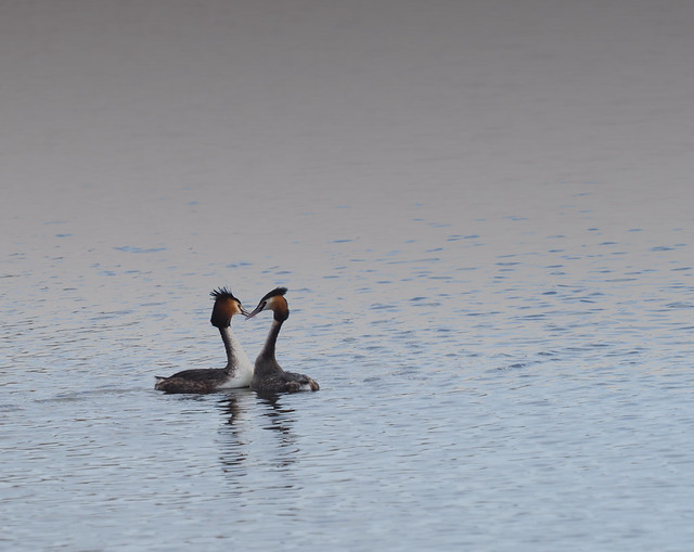 Pair of Grebes