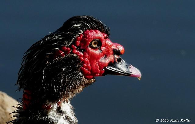 2020-07 (167)  Muscovy Duck Portrait!!