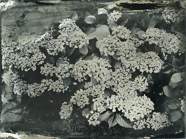 Hydranchea tintype