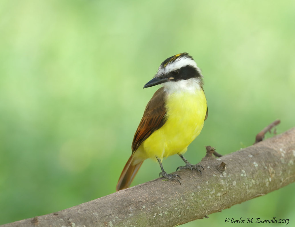 Great KIskadee IMG_7526edtsg
