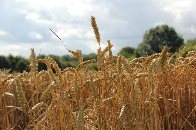 Koren. wheat (Zuid-Limburg-Margraten)