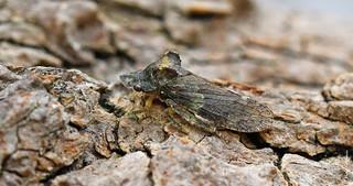 Ledra aurita (Eared Leafhopper)