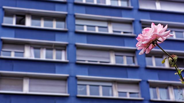 Rose urbaine