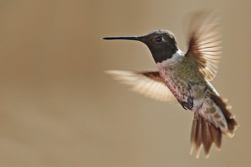 Black-chinned-Hummer-19-7D2-073120