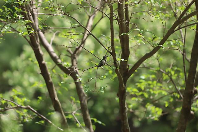 Hummingbirds at my Feeders - May 20th - August 5th, 2020 (Ypsilanti, Michigan)