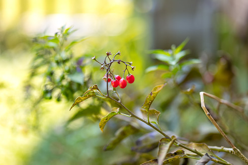 red wild berries | by ssabou