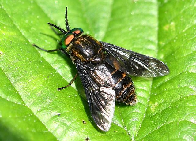 Broms / Black Deerfly (Chrysops sepulcralis) hane