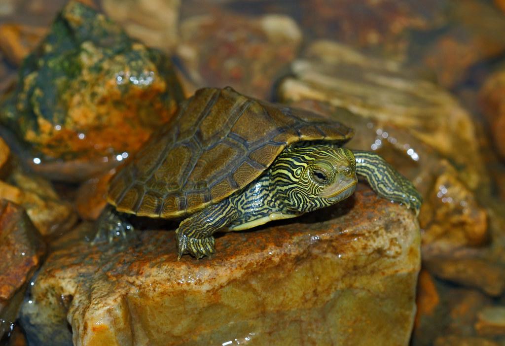 Common Map Turtle
