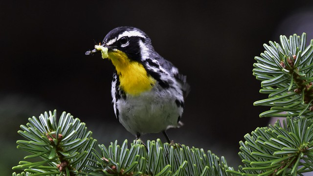 Breakfast - Yellow throated warbler
