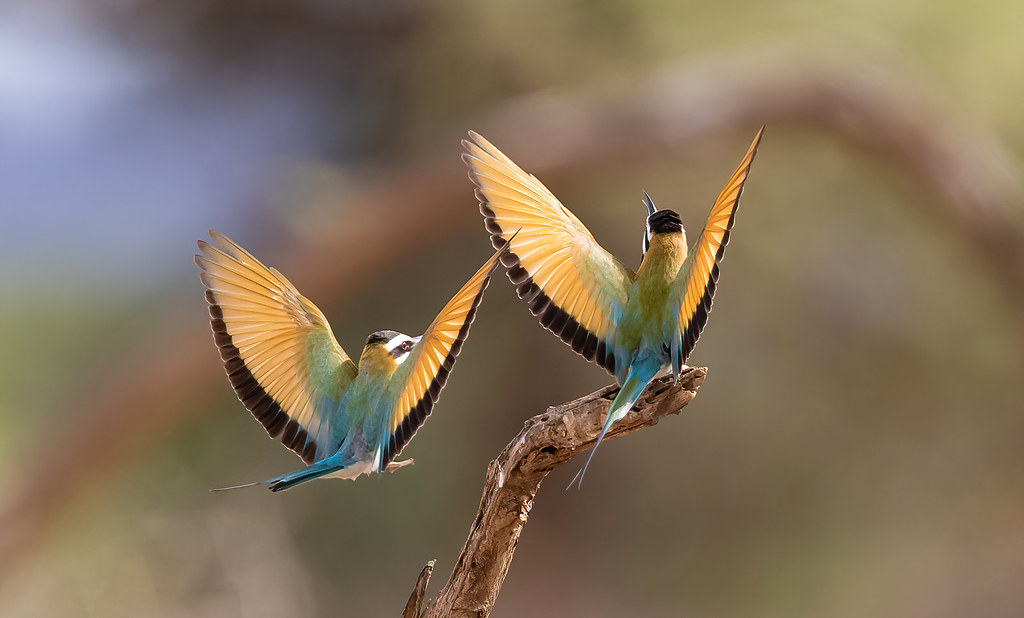 Wings Everywhere! - White-Fronted Bee Eaters