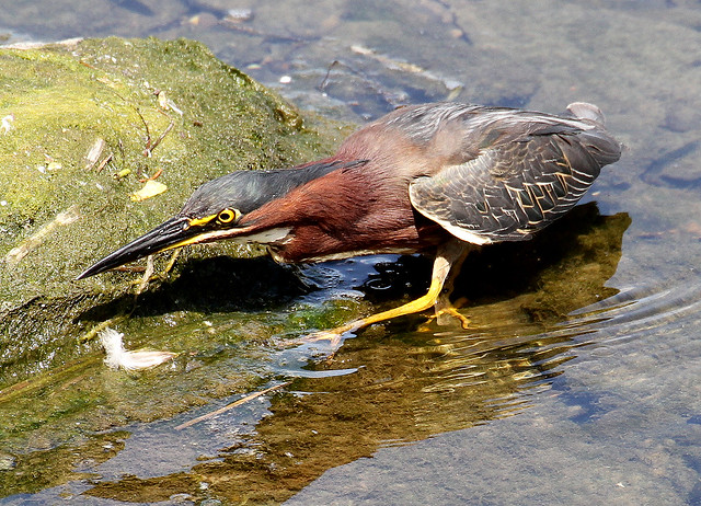 Green Heron, Rideau River, Ottawa