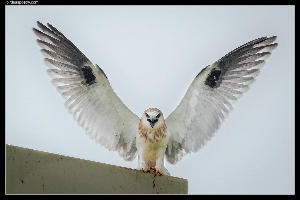 Black-shouldered Kite :Heraldic