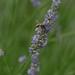 Biene in Lavendel
