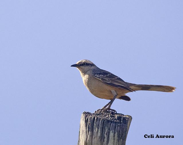 "Sabiá-do-campo - "" Mimus saturninus "" - Chalk-Browed Mockingbird - DSC_7314"