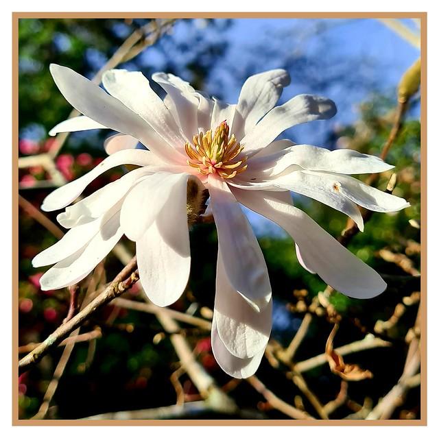 White star 'stellata' magnolia