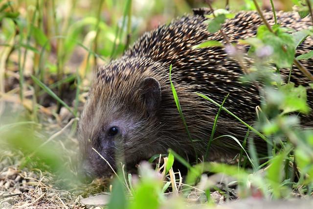 DSC_0105 Igel - Hedgehog