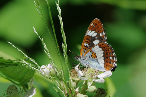 cambridgeshire limenitiscamilla monkswood wild butterfly insect nature whiteadmiral wildlife