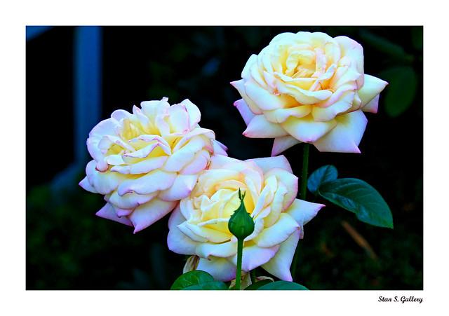 August - Tea Rose Blossoms