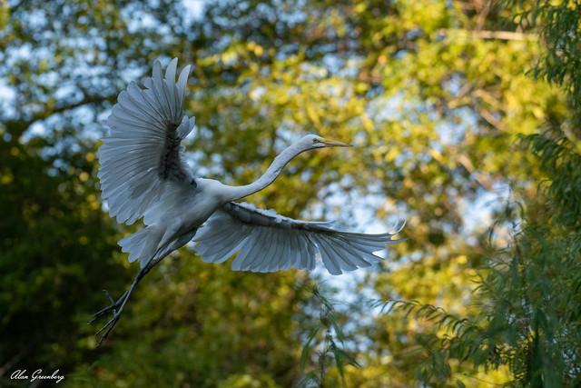 Off we go...(Snowy Egret)
