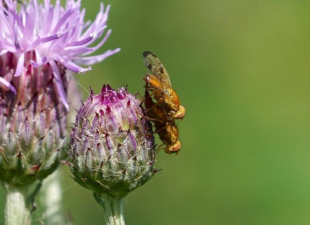 Mottled Thistle Fly —-  Xyphosia miliaria