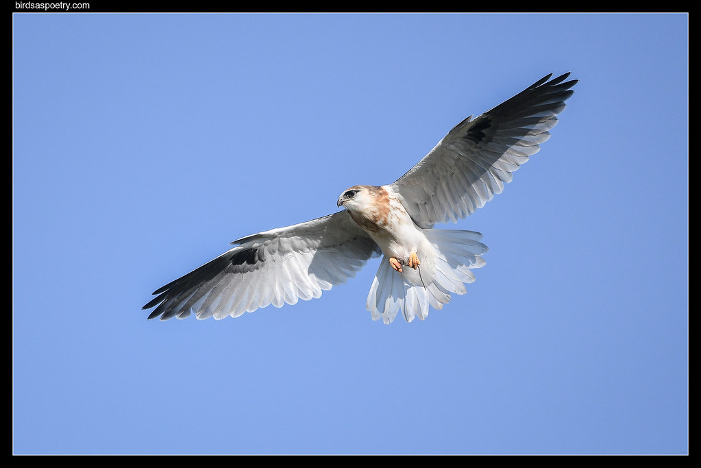 Black-shouldered Kite: One for Peter