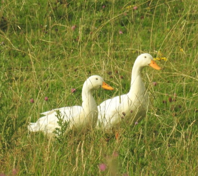 Pair of Aylesbury Ducks - Domestic Escapees ?