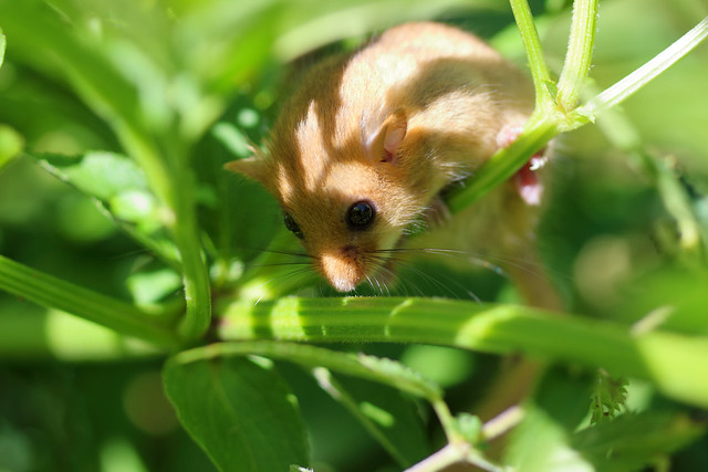 La rat d'or - Muscardinus avellanarius