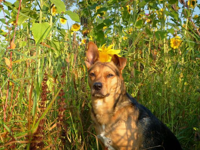 Meine Sonne in den Sonnenblumen, Part 2 :-)