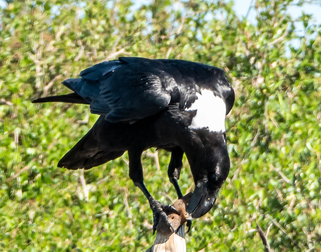 White-necked Raven - Withalskraai