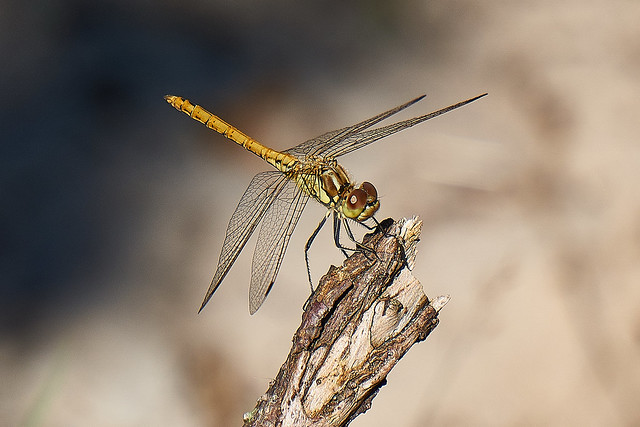 Bruinrode heidelibel / Synpetrum Striolatun