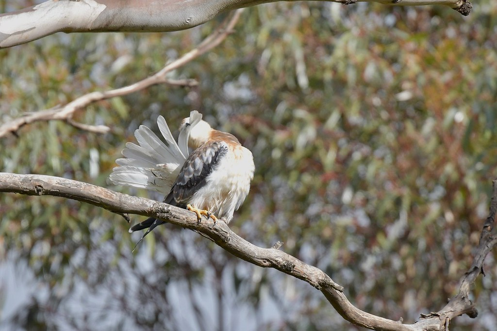 Black-shouldered Kite Juv. ( every feather is done )