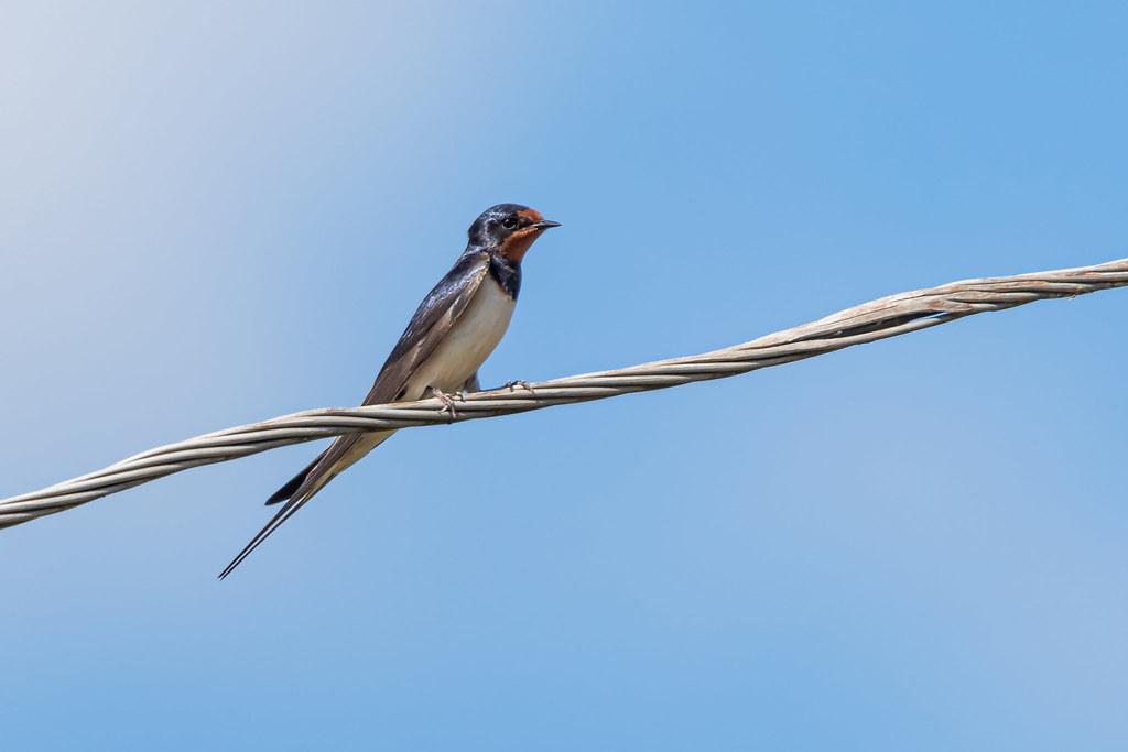 The barn swallow (Hirundo rustica)