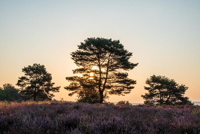 Die Heide blüht / The heath is in bloom