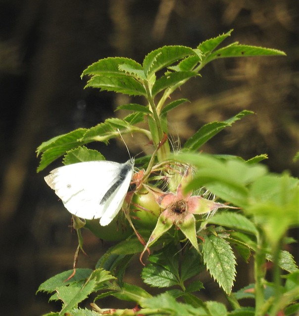 Small White Butterfly at Druridge Ponds