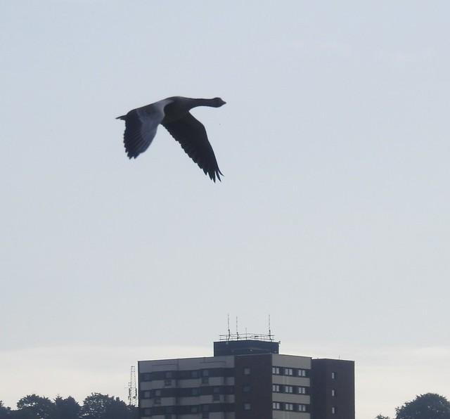 Greylag Goose Over Gateshead High-Rise