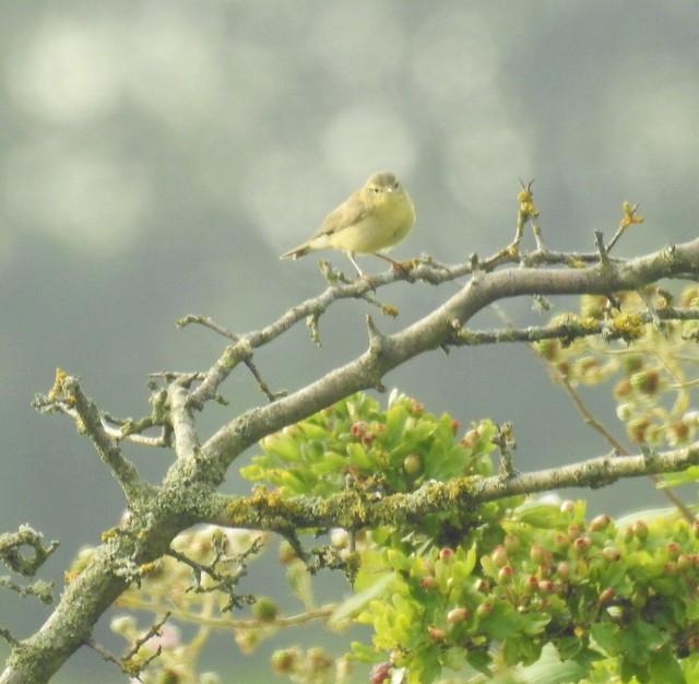 Willow Warbler at Lamesley Pastures