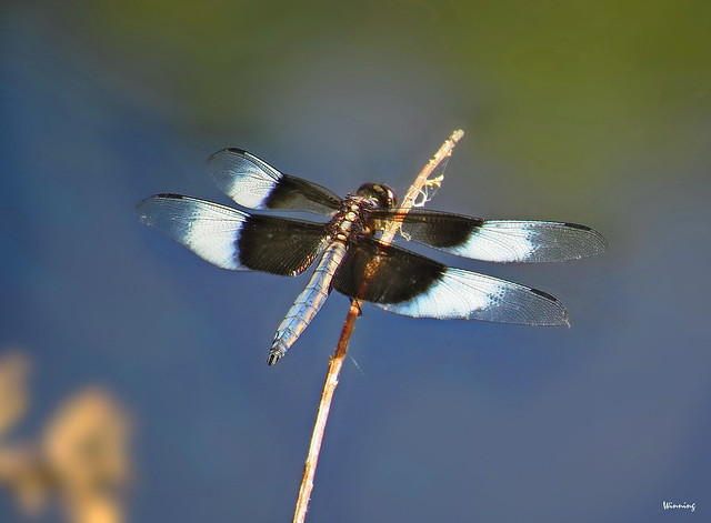 Widow Skimmer 6160