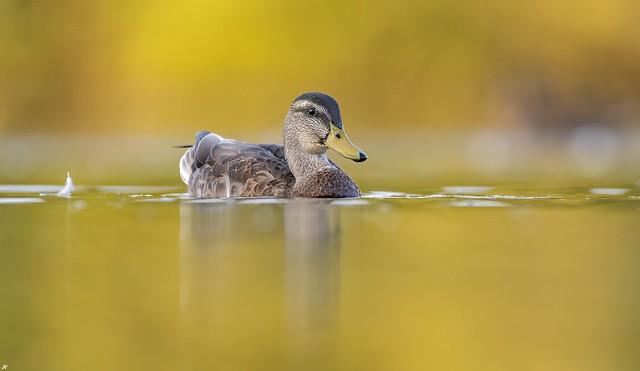 Mallard, Attenborough Nature Reserve.
