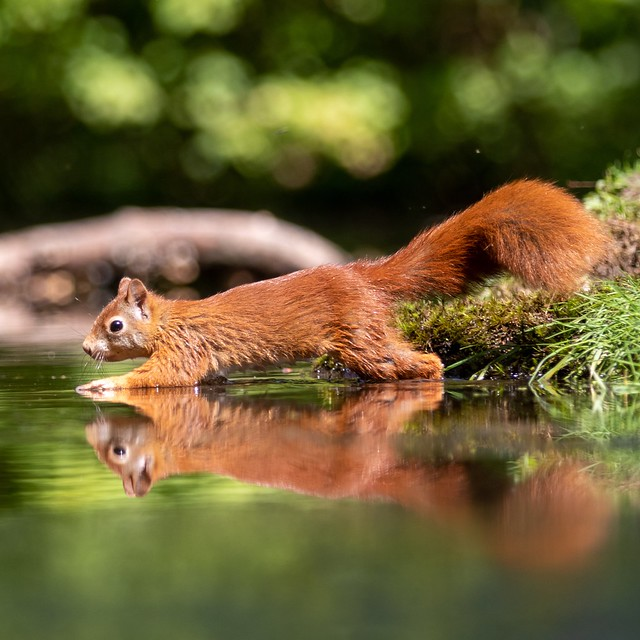 Squirrel walks on water. What a beautiful animal with reflection