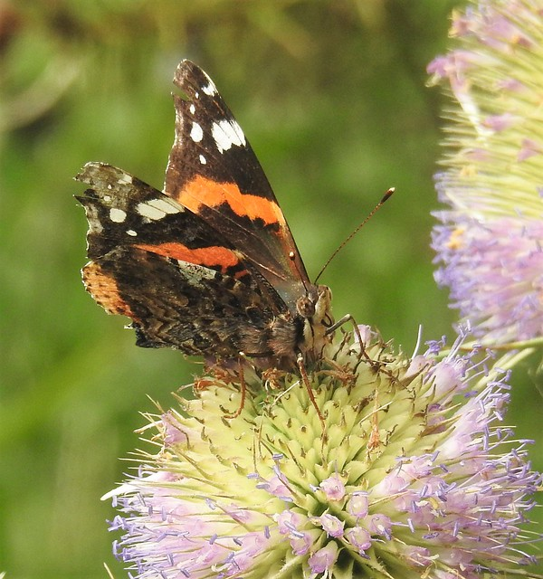 Red Admiral On Teasel Head