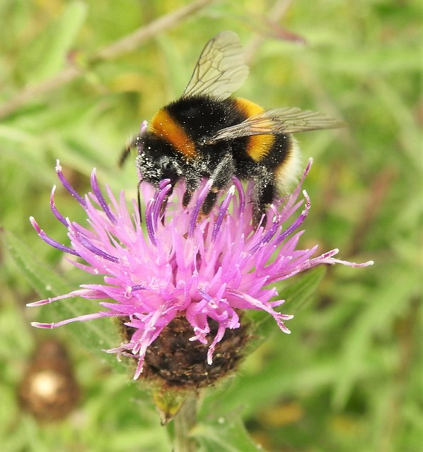 Buff-Tailed Bumble-Bee On Thistle Head