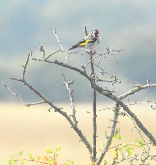 Goldfinch at Lamesley Pastures