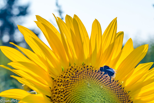 A bee enjoying a sunflower