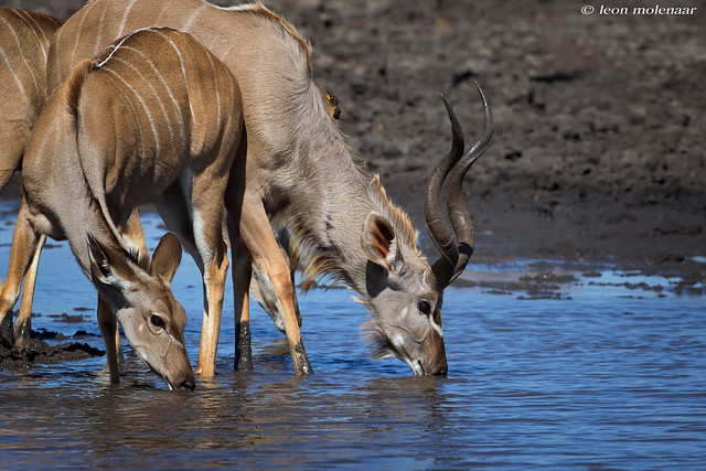 Kudu bull & female (& Oxpecker)