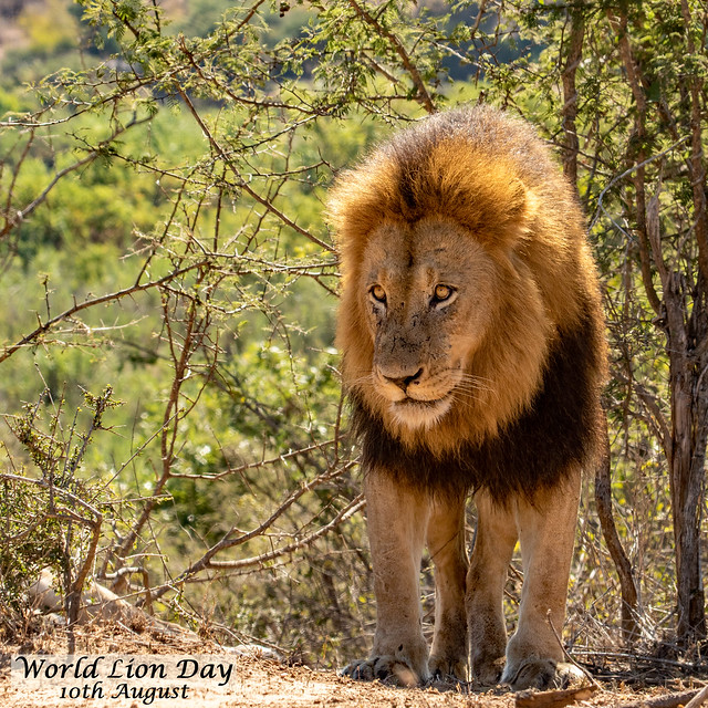 World Lion Day - 10th August