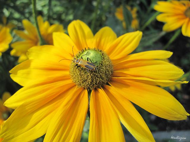 Goldenrod Soldier Beetle on Rudbeckia - Cantharide de Pennsylvania