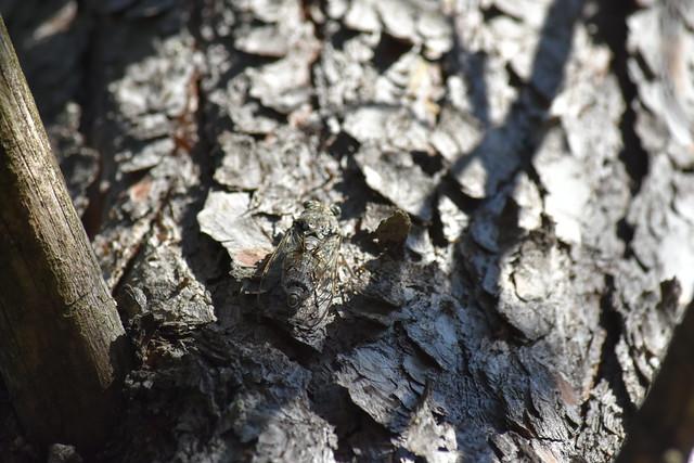 Cigarra en tronco de pino